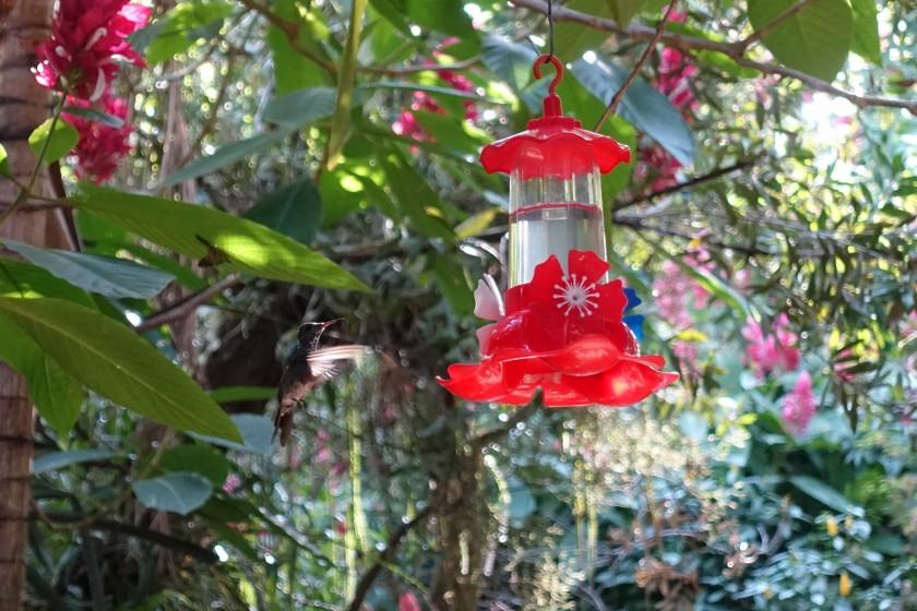 Hummingbird in flight, Jardim dos Picaflores, Iguazu, Argentina