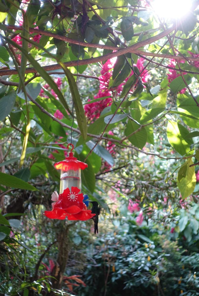 Hummingbird at Jardim dos Picaflores, Iguazu